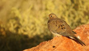 Mourning Dove by Pamela-Ball