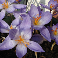 Crocus Blooming by Islnn
