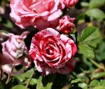 Rosa 'Scentimental' by Caloxort
