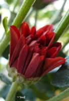 red flower by andi40