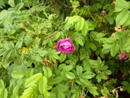 Dog rose by TimeCollector