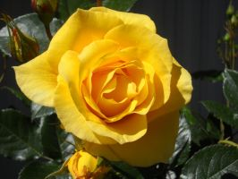 Yellow rose by nnf247