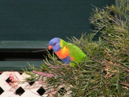 rainbow lorikeet 4 by sealkisses
