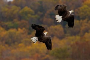 Bald Eagle Chase 9 by bovey-photo