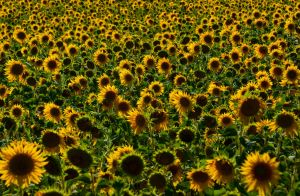 sunflower field by isischneider