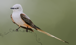 Scissor Tailed Flycatcher by MagicBirdie