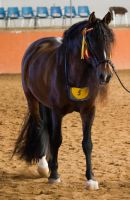 STOCK - 2014 Andalusian Nationals-39 by fillyrox