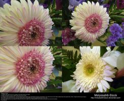 White and Pink Gerbera Stock by Melyssah6-Stock