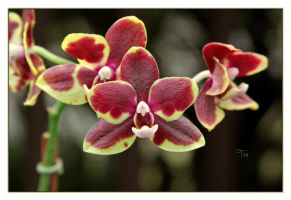 The Singing Orchid by TeaPhotography