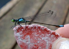 Blue Tailed Damselfly -Stock 2 by OneLifeStock