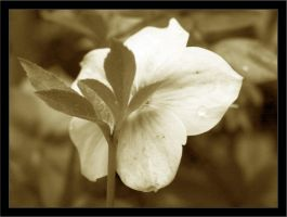 Sepia-toned flower by assimilated