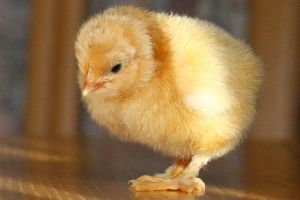 Chick stock 05 by Malleni-Stock