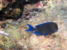 Fish - Blue Tang by Lauren-Lee