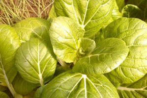 Cabbage by TomRolfe