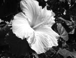 Hibiscus by Kavarria