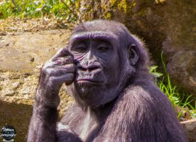The Thinking Chimp by framafoto