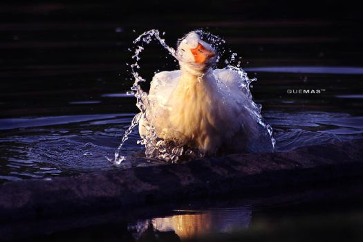 duck's shower by quemas