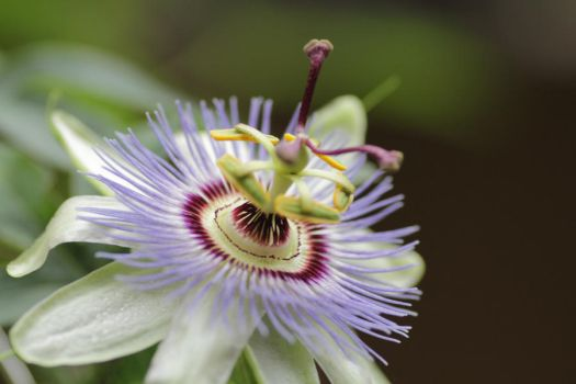 Passionflower by oya-g