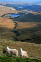 Welsh Sheep by nectar666