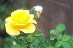 Yellow Rose by Jenileigh