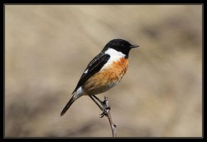 Stonechat by RichardConstantinoff