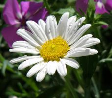Water Drops on Daisy by dreaming-of-serenity