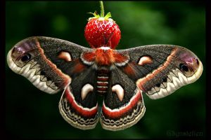 Cecropia on a Strawberry by UffdaGreg