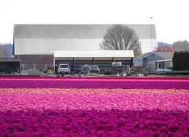 A Barn In The Tulip Fields IV by Photos-By-Michelle