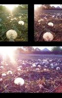 death of dandelions -summer has gone by ymymy