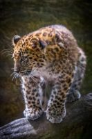 Baby Leopard by 904PhotoPhactory
