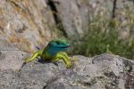 shooting wild (Lacerta viridis) by LucianaBaboianu
