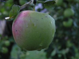 Apples 02 by Lucy-Eth-Stock