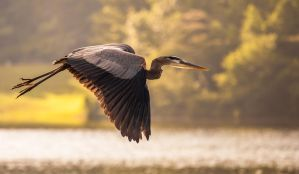 Great Blue Heron by rctfan2