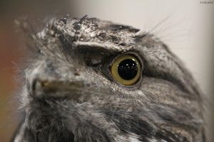 Tawny Frogmouth by 29cfrun