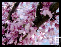 Spring Is Here: Redbud Trees by MagicalMelonBall