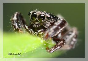 Jumping Spider 5 by RichardConstantinoff