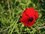 Red beauty by ShlomitMessica