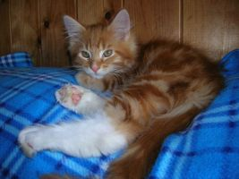 Main Coon 2 by cindywerner