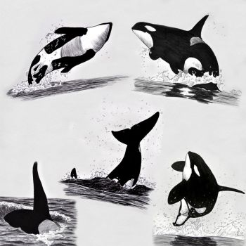 Orca awareness month by namu-the-orca