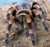 Mexican Redknee Tarantula by Serendith