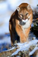 Puma concolor 12 by catman-suha