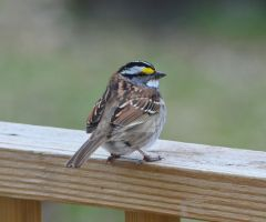 White-throated Sparrow by IdolRebel