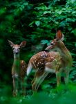 twin whitetails by rweekly