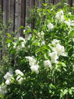 white lilac 02 by mimustock