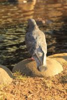 Tokyo Pigeon by Phoenixinthesky