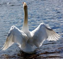 swan stretching wings stk 8 by LubelleCreativeSpark