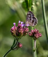 Butterfly on a flower by AJBaus