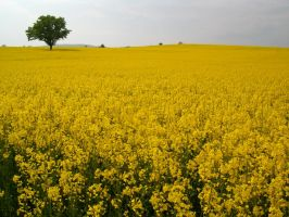 Lonely Tree in a sea of yellow by hoshitsu
