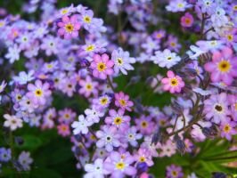 forget-me-not_01 by Sangvinar
