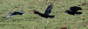 Crow in Flight by organicvision